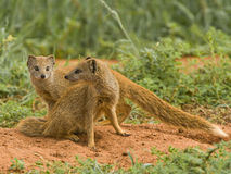 Yellow mongoose pair. Smallish mongoose; pointed face; diurnal; occurs solitary,  in pairs or small groups; largely yellowish with white tail tip;  striking red Stock Photos