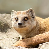 Yellow Mongoose portrait Stock Photo