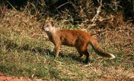 Yellow mongoose portrait Royalty Free Stock Image
