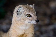 Yellow mongoose portrait Royalty Free Stock Photo