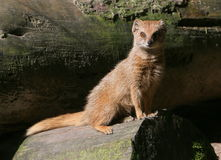 Yellow Mongoose Portrait Royalty Free Stock Photography