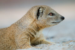 Yellow mongoose portrait Royalty Free Stock Photos