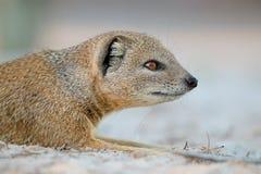 Yellow mongoose portrait Stock Photos