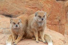 Yellow mongoose. A portrait of a pair of yellow mongoose Stock Photography