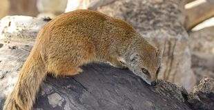 Yellow Mongoose portrait. Portrait of a yellow mongoose sitting on a rock Royalty Free Stock Image
