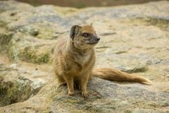 Yellow mongoose portrait stock images