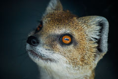 Yellow Mongoose. Portrait of a Yellow Mongoose standing on hind legs Stock Photography