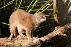 Yellow Mongoose. Mongoose posing on a tree trunk Stock Photography
