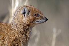 Yellow mongoose profile, Kalahari desert Royalty Free Stock Image