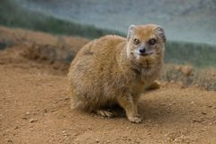 Yellow Mongoose on the sand royalty free stock image