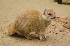 Yellow Mongoose on the sand Royalty Free Stock Photos