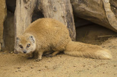 Yellow Mongoose on the sand Royalty Free Stock Photo
