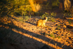 Yellow mongoose. A yellow mongoose, sitting on the sand in the sunset Royalty Free Stock Photo