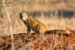 Yellow Mongoose. A Yellow Mongoose sitting on a termite mound in Southern African savanna Royalty Free Stock Photos