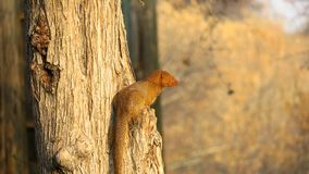 Yellow mongoose sitting on tree branch. Yellow mongoose Red meerkat sitting on tree branch in the Central Kalahari Game Reserve, Botswana Stock Photo