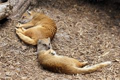 Yellow mongoose sleeping Stock Photo