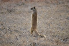 Yellow mongoose keeping watch looking left. A yellow mongoose in South Africa keeps watch, looking to the right into the distance Royalty Free Stock Photo