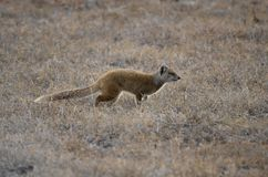 Yellow mongoose running to the right. A yellow mongoose in South Africa runs to the right, heading off to explore new areas for food Stock Photos
