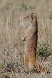Yellow Mongoose Standing Stock Images