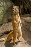 Yellow mongoose standing up at guard closeup Stock Photos