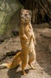 Yellow mongoose standing up at guard closeup Stock Photos