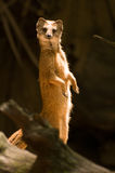 Yellow mongoose standing up at guard closeup. Watching Royalty Free Stock Image