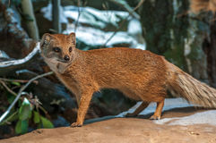 Yellow mongoose standing up at guard closeup. Watching Royalty Free Stock Photo