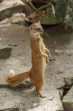 Yellow mongoose standing up at guard closeup Royalty Free Stock Images
