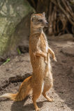 Yellow mongoose standing up at guard closeup Stock Photography