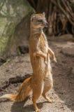 Yellow mongoose standing up at guard closeup Stock Photography