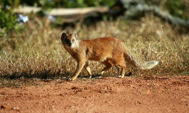 A yellow mongoose walking Stock Images