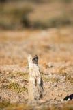Yellow Mongoose on Watchout. Stock Image
