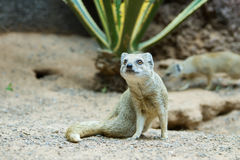 Yellow mongoose (Cynictis penicillata) Stock Image