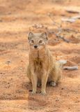 Yellow Mongoose. A yellow mongoose in the Kgalagadi Transfrontier Park, situated in the Kalahari Desert which straddles South Africa and Botswana Royalty Free Stock Photo