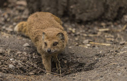 Yellow mongoose in ZOO Decin in winter day Stock Photos