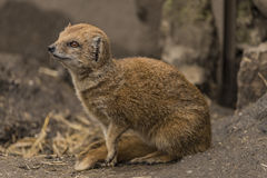 Yellow mongoose in ZOO Decin in winter day Royalty Free Stock Photography