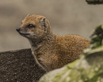 Yellow mongoose in ZOO Decin in winter day Stock Image