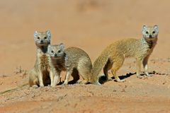 Yellow mongooses Stock Photo