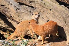 Yellow mongooses Royalty Free Stock Image