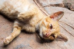 Yellow mongrel cat laying down near own for snuggle. Top down view Royalty Free Stock Photo