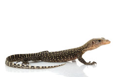 Yellow Monitor Lizard Royalty Free Stock Photography