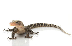 Yellow Monitor Lizard. (Varanus flavescens) isolated on white background stock images