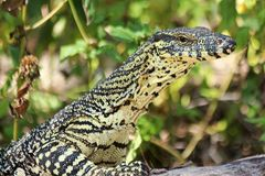 Yellow Monitor Markings. Monitor lizards have long necks, powerful tails and claws, and well-developed limbs. The adult length of extant species ranges from 20 Royalty Free Stock Photos