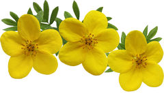 Yellow Monrovia Potentilla royalty free stock images