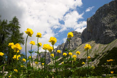 Yellow moraine buttercups on mountain background Stock Photography
