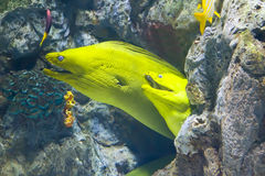 Yellow  moray fish in coral reef Royalty Free Stock Image