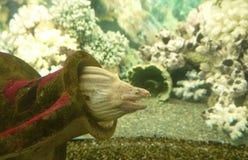 Yellow moray Stock Photo