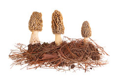Yellow morel mushrooms and pine needle substrate isolated on whi Stock Images