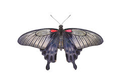 Yellow Mormon Butterfly Royalty Free Stock Image