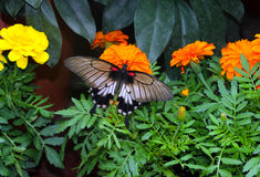 Yellow Mormon Butterfly Royalty Free Stock Photos